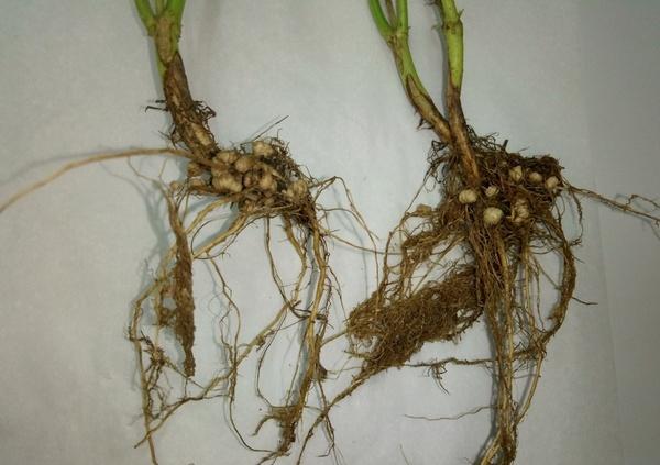 Действие биоудобрения Нитрагин КН на корневую систему сои